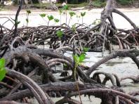 Mangroves Cape york