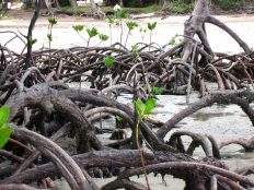 Mangroves Cape york