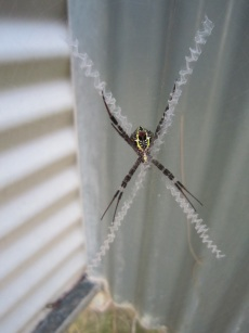 St Andrews Cross spider