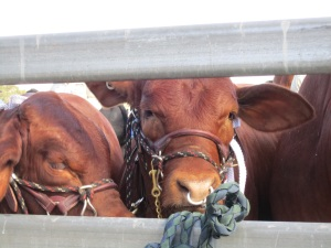 Springsure cattle